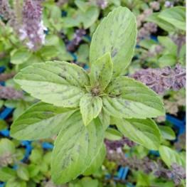 Origanum vulgare Variegata Oregano pstre
