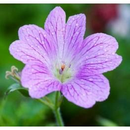Geranium oxonianum Claridge Druce Bodziszek oksfordzki