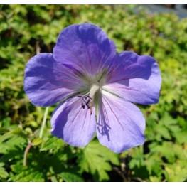 Geranium himalayense Baby Blue Bodziszek himalajski