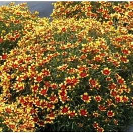 Coreopsis Honeybunch Red and Gold Nachyłek Okółkowy