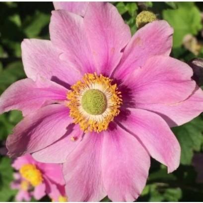 Anemone hupehensis Pink Saucer Zawilec japoński