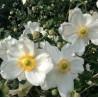 Anemone japonica Honorine Jobert Zawilec japoński