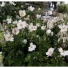 Anemone japonica Whirlwind Zawilec japoński