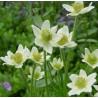Anemone multiflora Annabella White Zawilec wielosieczny