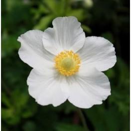 Anemone sylvestris Snow White -Zawilec wielkokwiatowy