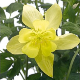 Aquilegia caerulea Spring Magic Yellow Orlik niebieski Spring Magic Yellow