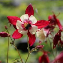 Aquilegia caerulea Crimson Star Orlik