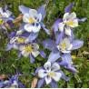 Aquilegia caerulea Orlik błękitny