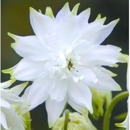 Aquilegia vulgaris White Barlow Orlik pospolity