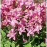 Aquilegia vulgaris Winki Rose Orlik pospolity