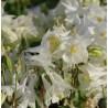 Aquilegia vulgaris Winki White Orlik pospolity