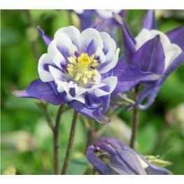 Aquilegia vulgaris Winki Blue & White Orlik pospolity