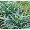Carex Bunny Blue Turzyca