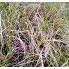 Carex c