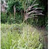 Miscanthus sinensis Memory Miskant