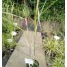 Miscanthus sinensis Rosi Miskant