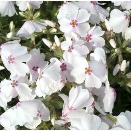 Phlox subulata Amazing Grace Floks szydlasty
