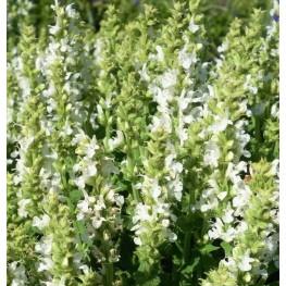 Salvia nemorosa Sensation Compact White Szałwia omszona