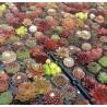 Sempervivum rojnik kolorowy zestaw 50 szt