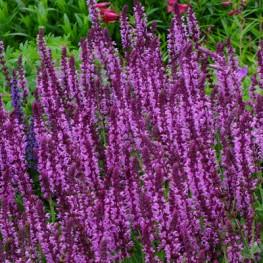 Salvia nemorosa Pink Friesland