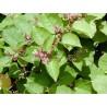 Reynoutria Japonica compacta Rdest ostrokończysty