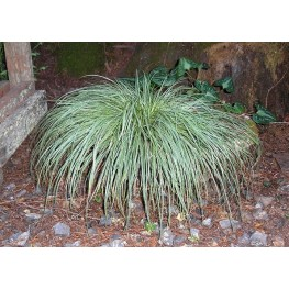 Carex conica Hime-kan-suge Turzyca