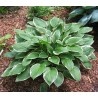 Hosta Green Gold Funkia