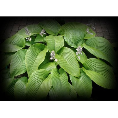 Hosta Green Acres Funkia