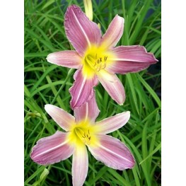 Hemerocallis Lavender Lilly Liliowiec
