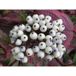 Cornus Alba Siberian Pearls Dereń Biały