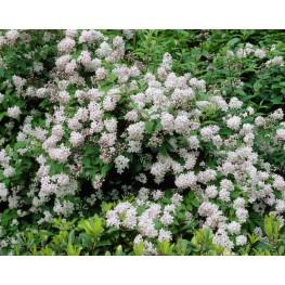 Deutzia Hybrida Mont Rose Żylistek Mieszańcowy