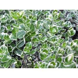 Euonymus Emeralds Gajety Trzmielina