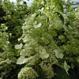 Hydrangea Paniculata Magical Himalaya Hortansja Bukietowa
