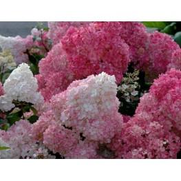 Hydrangea Paniculata Sundae Fraise Hortensja Bukietowa