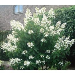 Hydrangea Paniculata Levana Hortensja Bukietowa