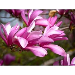 Magnolia Betty