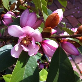 Magnolia Fairy Blusch