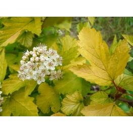 Physocarpus Opulifolius Luteus Pęcherznica Kalinolistna