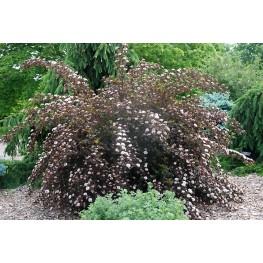 Physocarpus Opulifolius Summer Wine Pęcherznica Kalinolistna