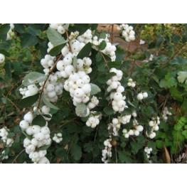 Symphoricapros x Dorenbosii White Hedge Śnieguliczka