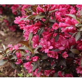 Weigela Minor Black Krzewuszka