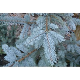 Picea Pungens Hoopsi Świerk kłujący Hoopsi