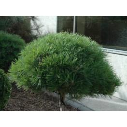 Pinus densiflora Jane Kluis Sosna gęstokwiatowa Jane Kluis
