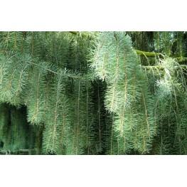 Picea breweriana Świerk brewera