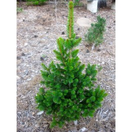 Picea abies Will's Zwerg Świerk pospolity Will's Zwerg