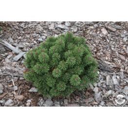 Pinus mugo Litomyśl Sosna kosodrzewina Litomyśl