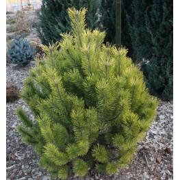 Pinus mugo Golden Glow Sosna kosodrzewina Golden Glow