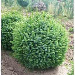 Picea omorika Nana Świerk serbski Nana