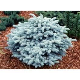 Picea pungens Glauca Globosa Świerk kłujący Glauca Globosa