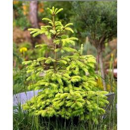 Picea abies Aurea Świerk pospolity Aurea